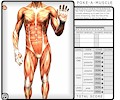 Learn Musculature Anatomy - Poke-A-Muscle Game